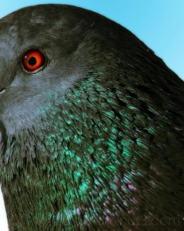 Pigeon Peek