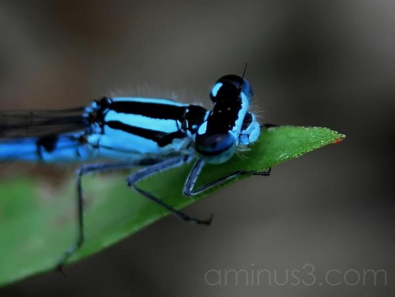Damsil Fly