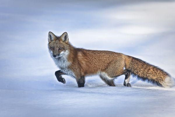 A Foxy Lady