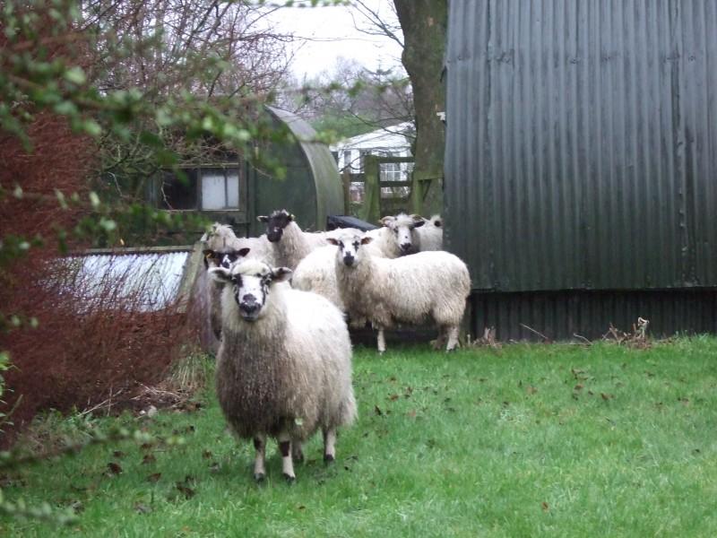 Sheep , Beautiful , Funny , Cool