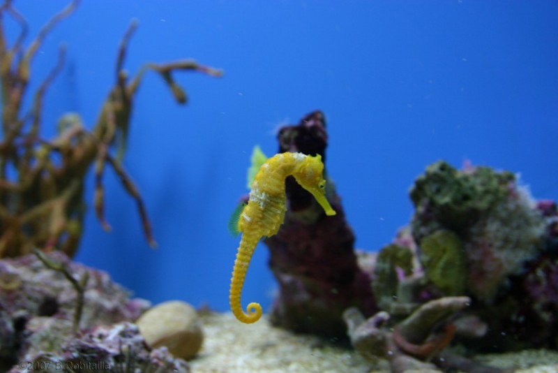 Seahorse/Hippocampe