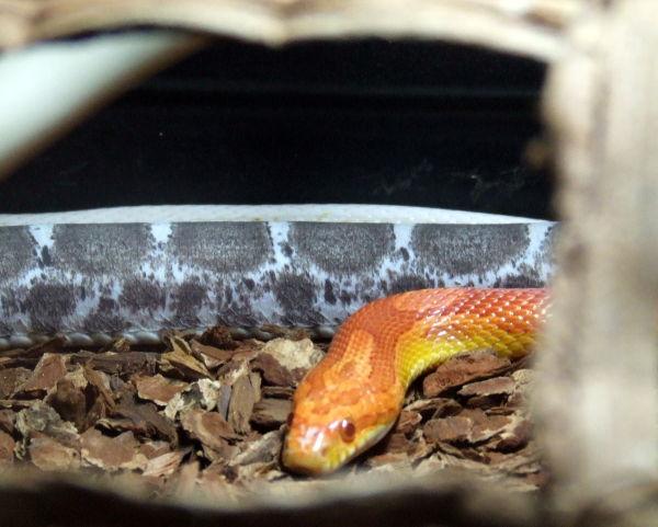 Orange Snake - Serpent Orange