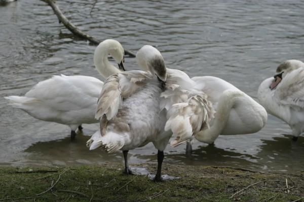 Swan walking along the Thames River in Windsor