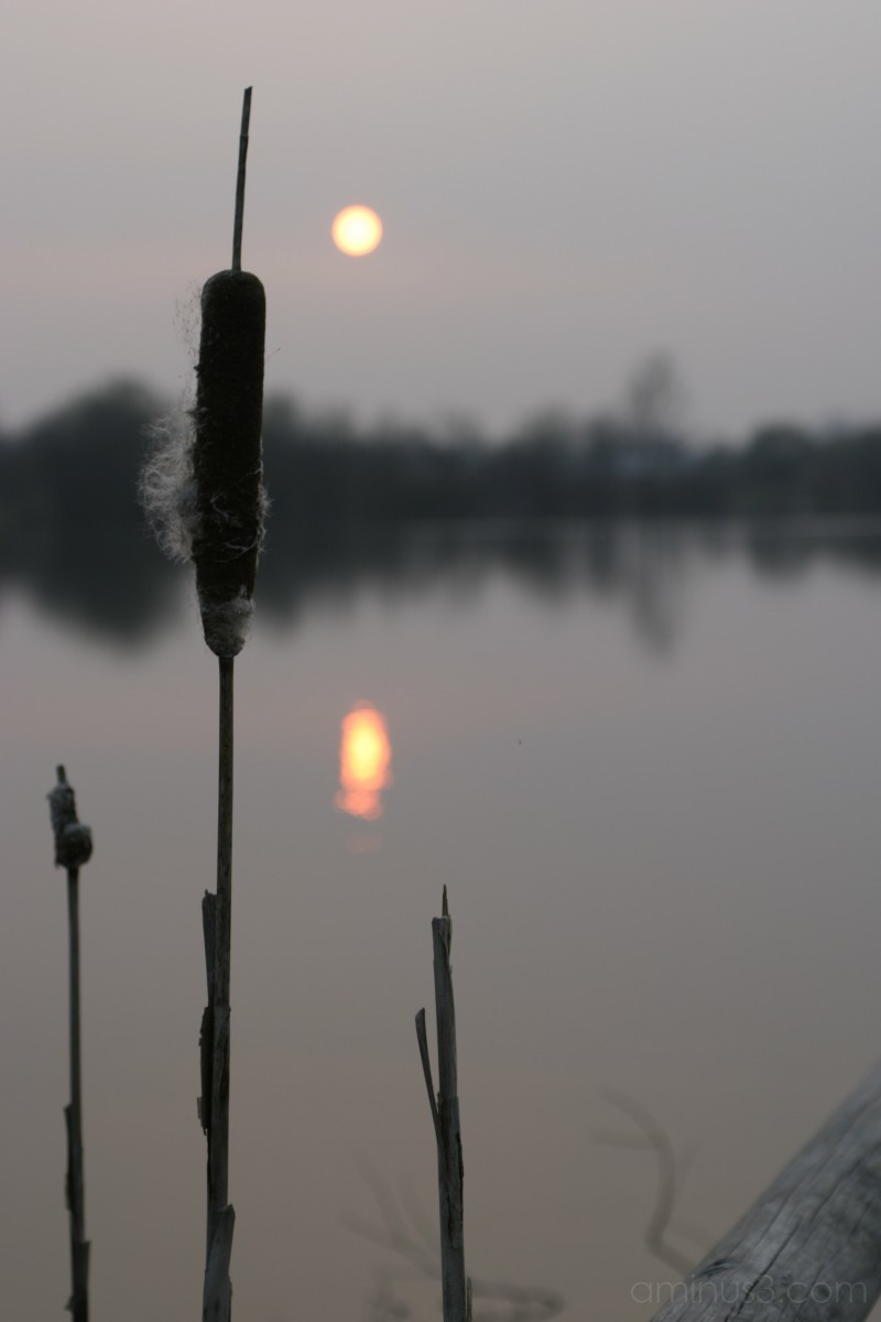 Reeds in the evening sun