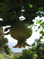 a pomegranate