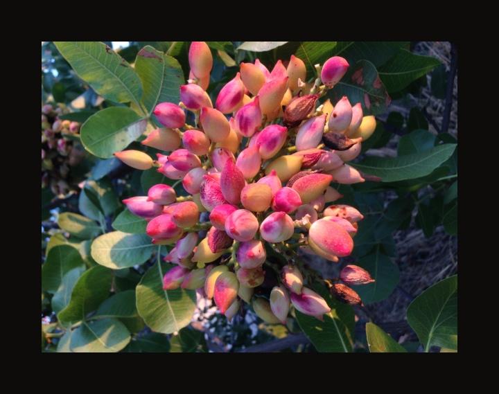famous Egina nuts