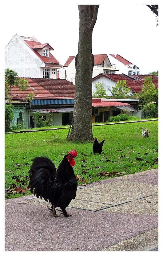 Rooster at Jalan Kayu, Singapore