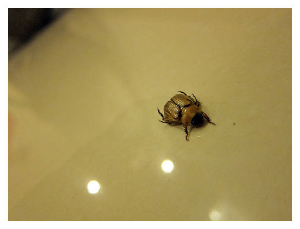 Beetle, Singapore