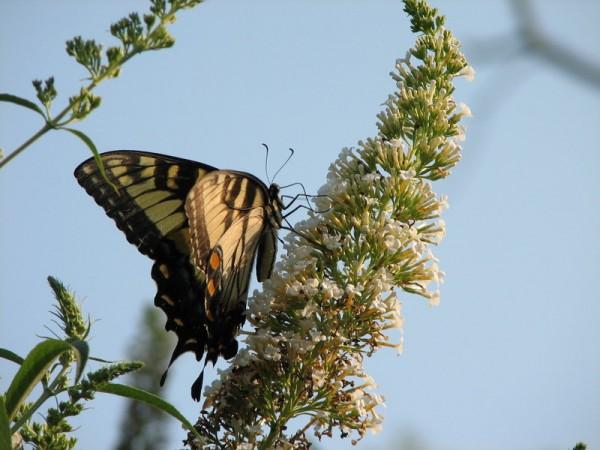 butterfly on a bush