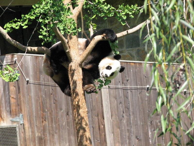 Panda playing in a tree