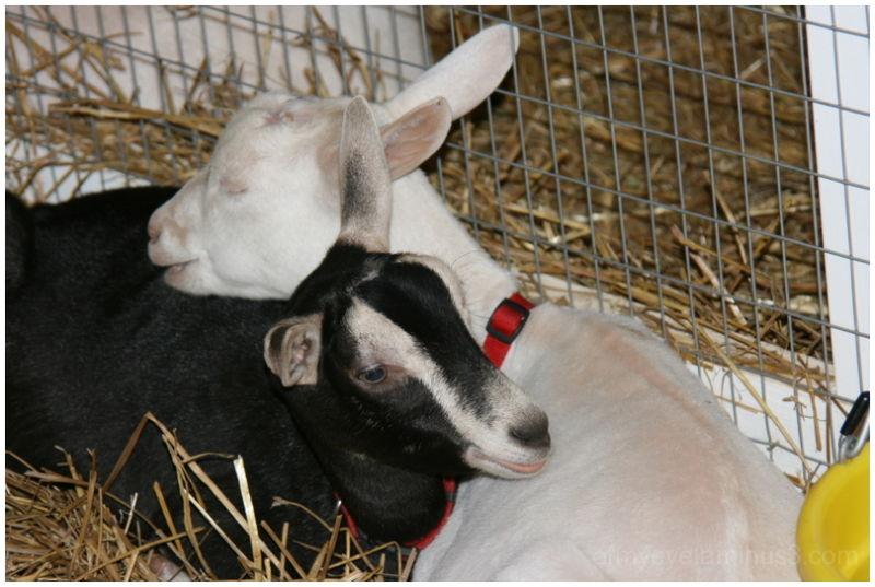 cuddling goats