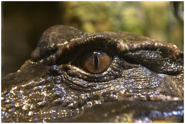 Croc Eye