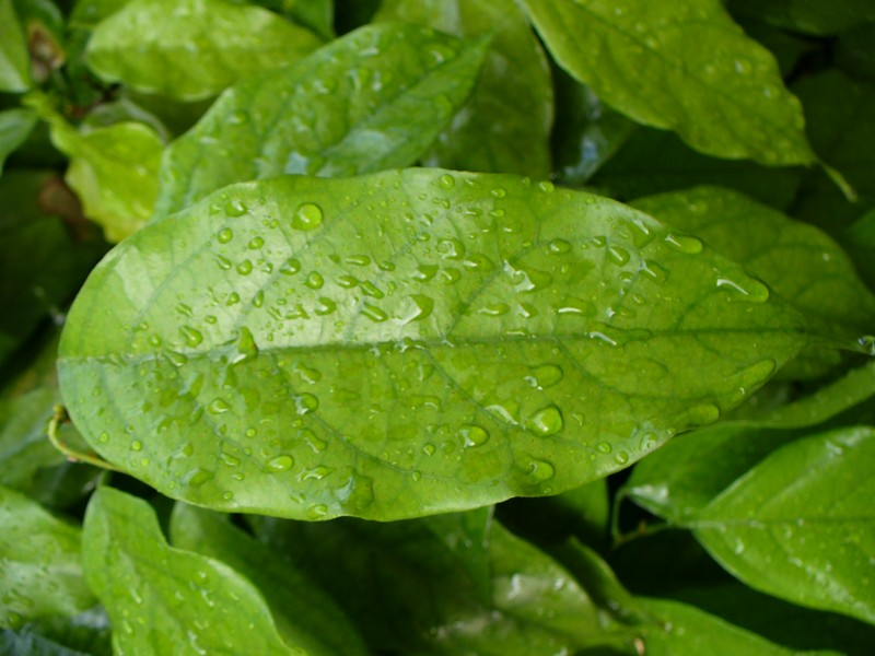 Raindrops on Fresh Green Leaf
