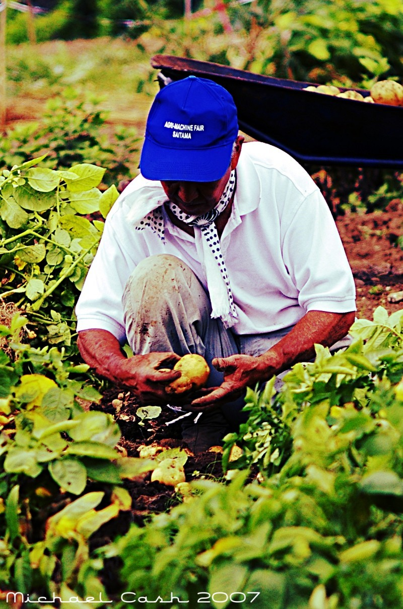 Japanese gardener harvesting potatoes