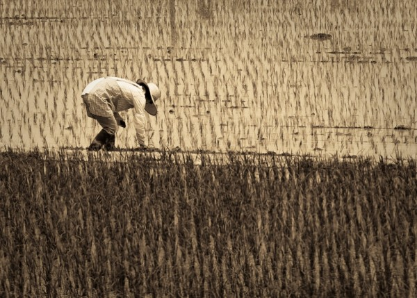 Brokeback Rice Paddy