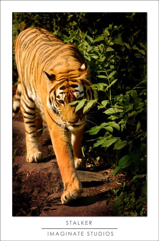 Captive Sumatran Tiger in Beijing, China
