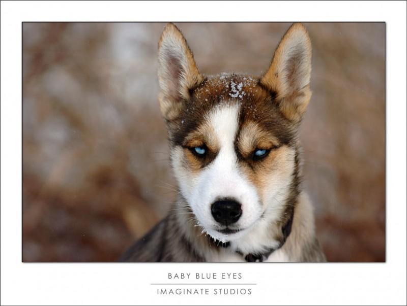 A husky puppy