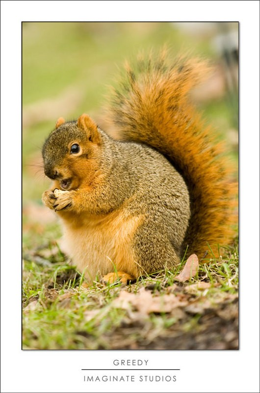 A greedy squirrel fattening up for the winter