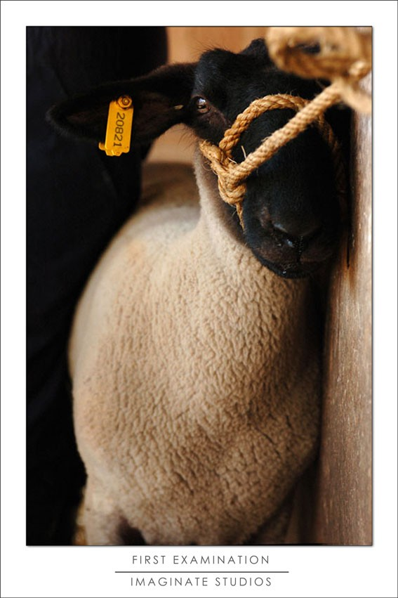 First sheep examination