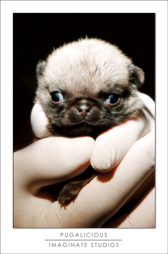 A cleft palate pug puppy RIP