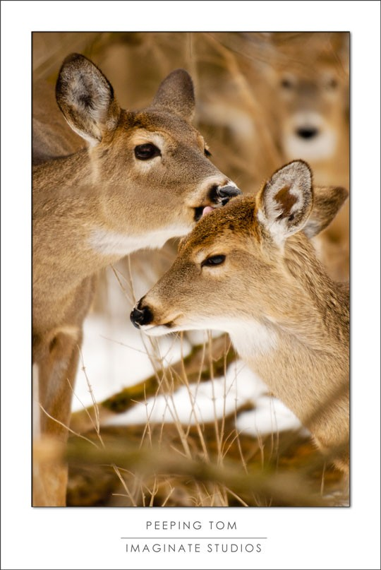 two deer show affection while a third lingers