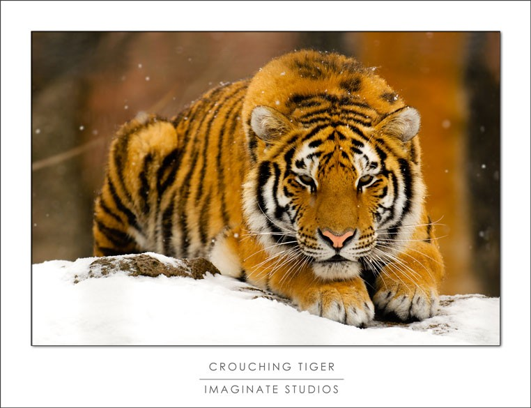 Amur tiger at the PPZ