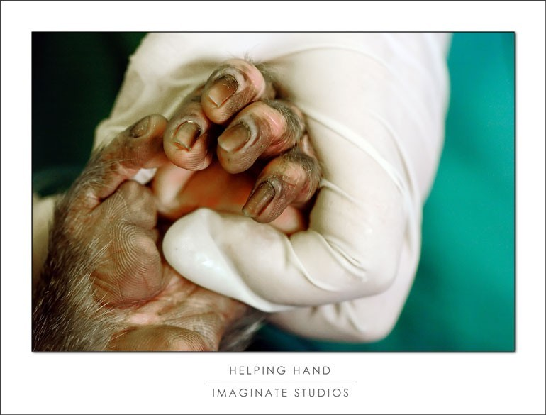 A mandrill's hand during a veterinary procedure