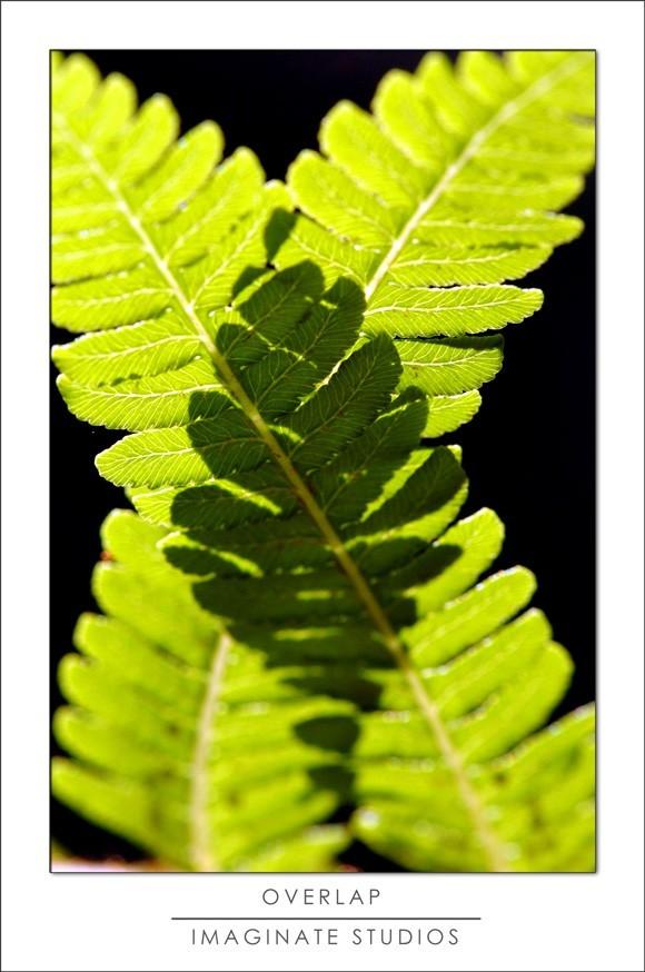 overlapping ferns backlit