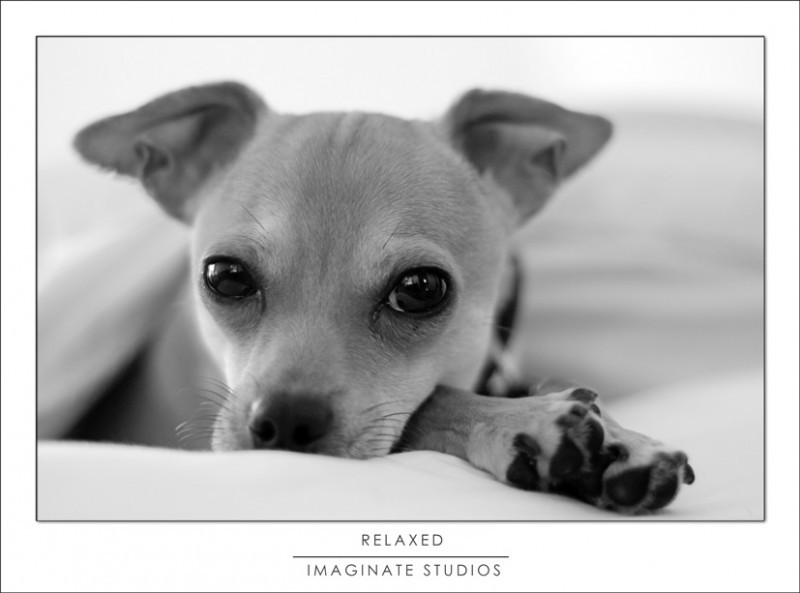 a chihuahua ritz relaxes in bed