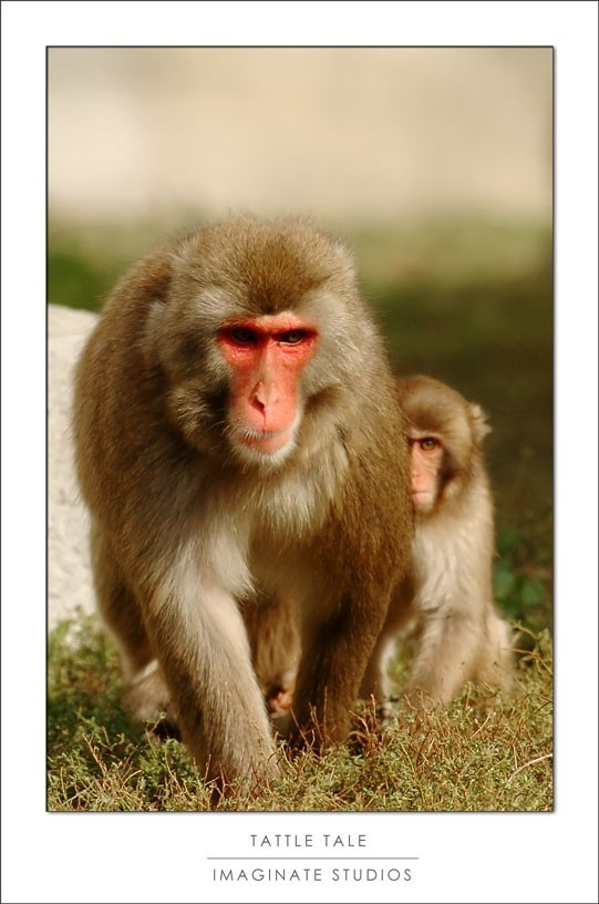 A macaque tells on his buddy and mom is mad.