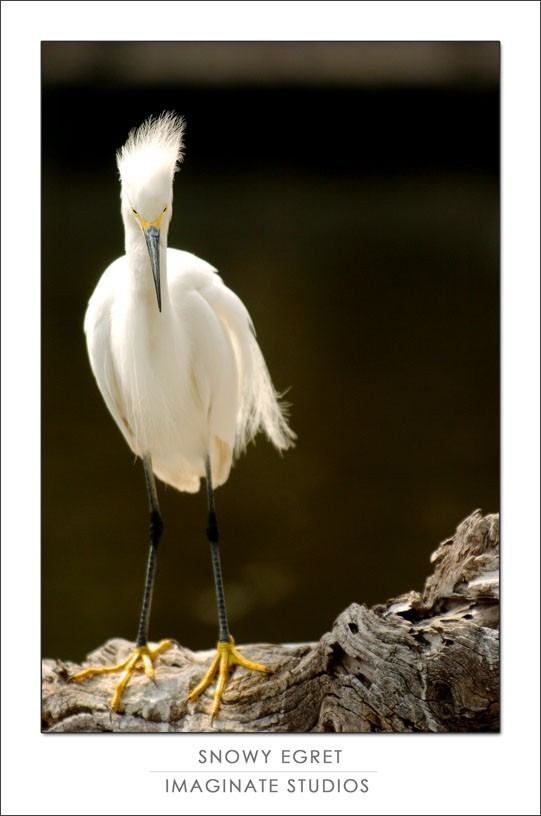 Snowy Egret perches on a log