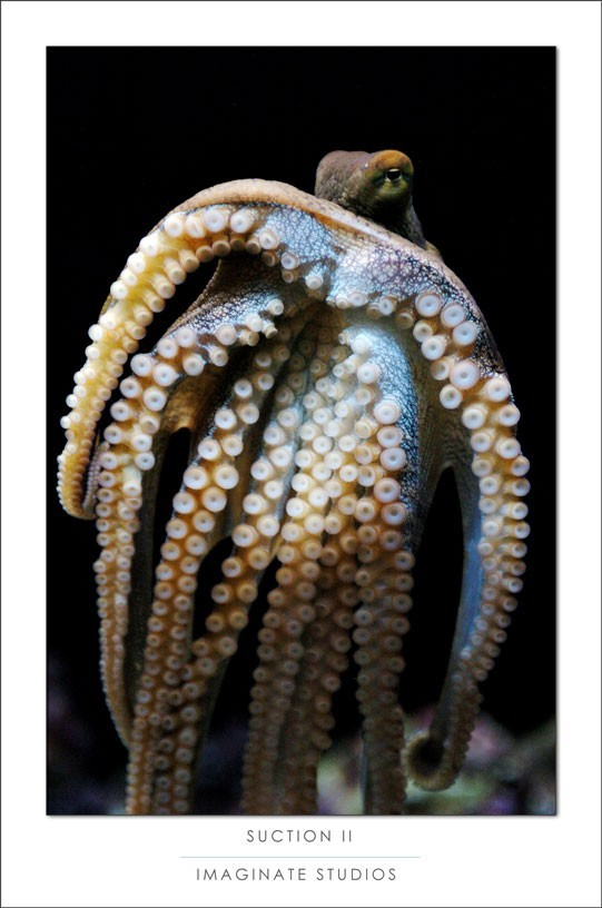 An octopus creeps along the glass