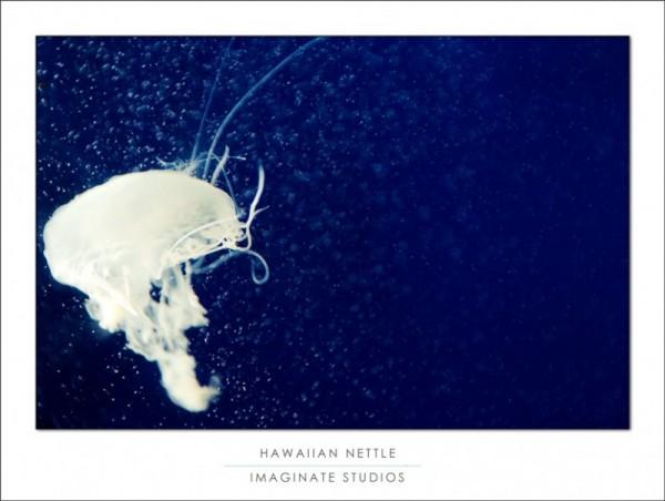 Hawaiian Nettle