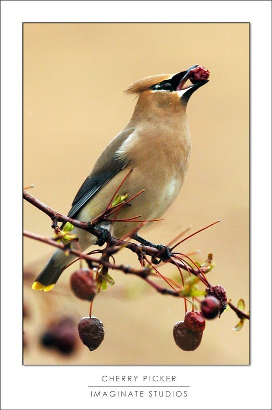 A cedar waxwing picks up cherries