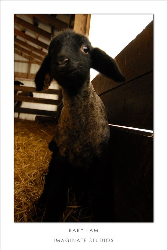 A baby lamb