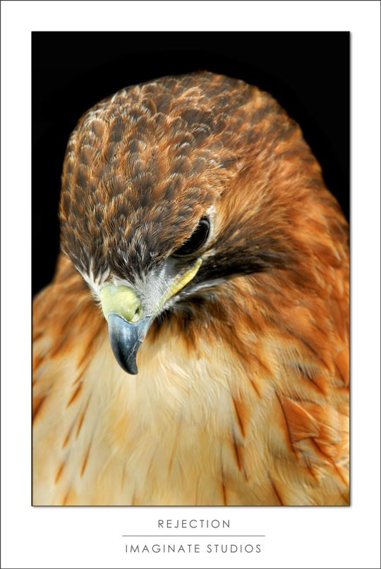A red tailed hawk looks down in rejection