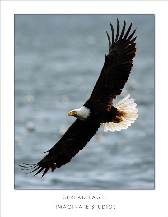 an eagle spreads its wings and soars over water