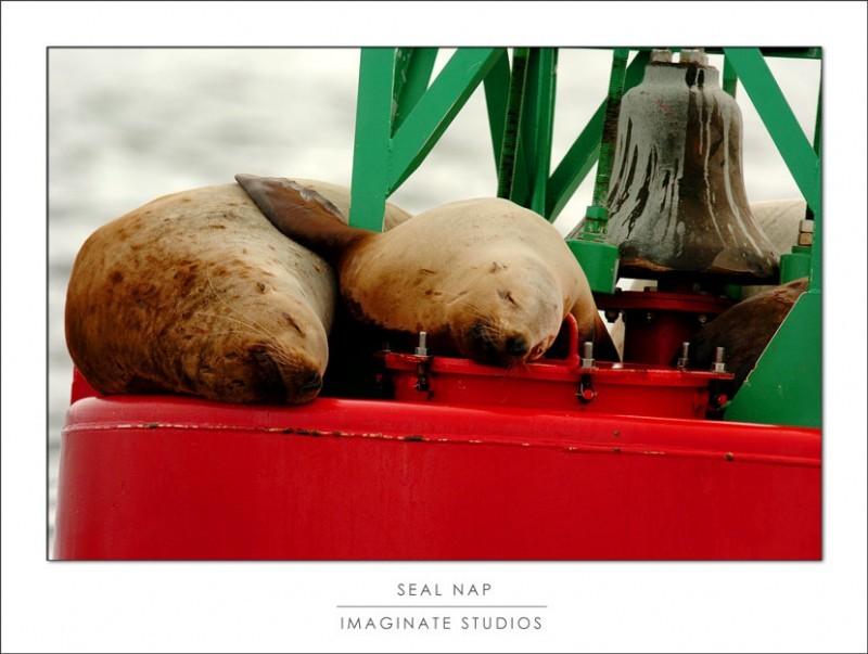 Stellar sea lions nap on the bouy