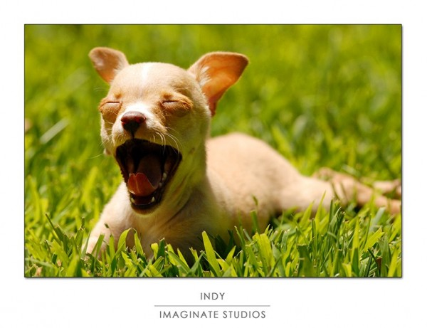 Indy prepares to nap