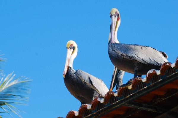 Pelicans At Rincon De Guayabitos, Mexico