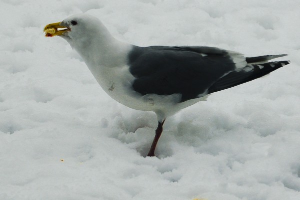 Male Seagull Eating Bread