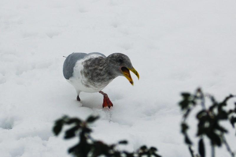Female seagull complains