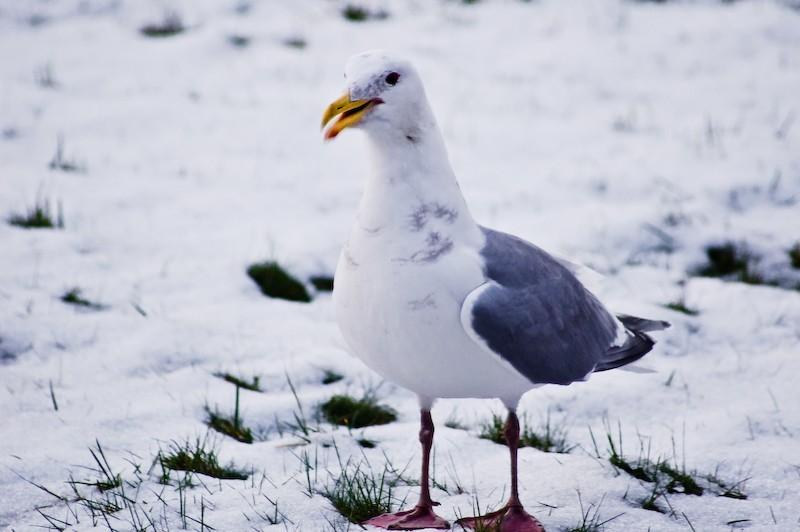 Gull Looking For Breakfast