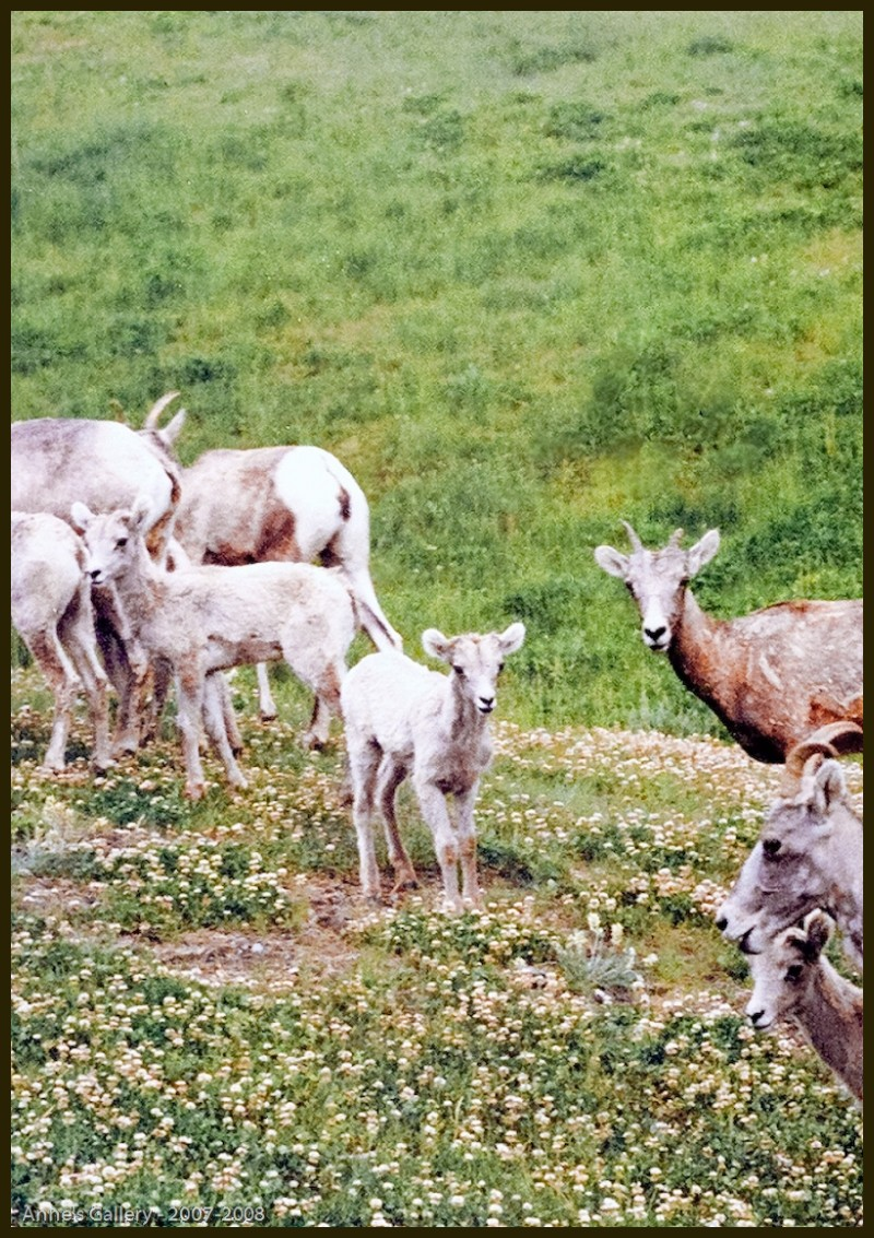 Rockly Mountain Sheep
