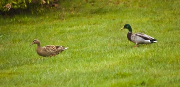 Ducks Take A Stroll