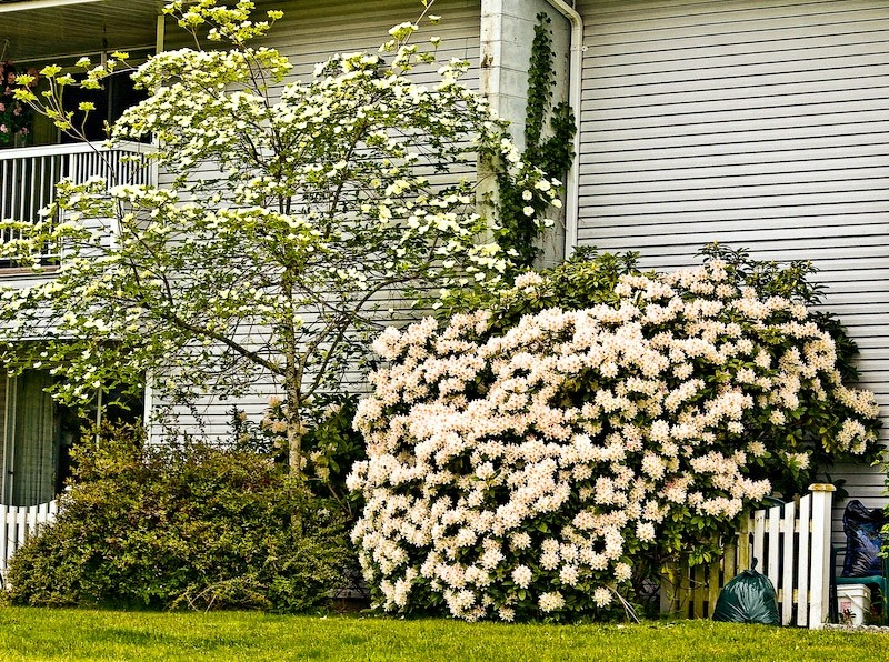 My Rhododendron and Dogwood