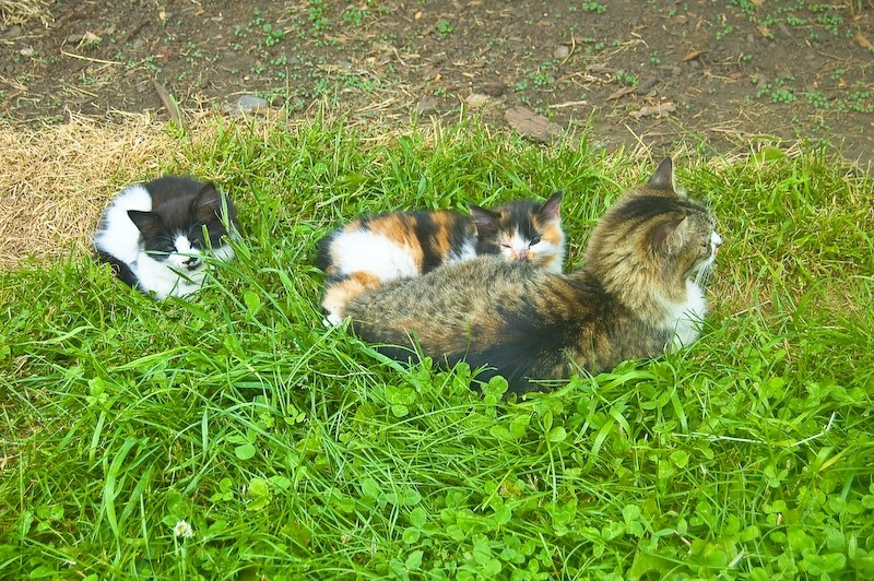 Barnyard Kitty Family