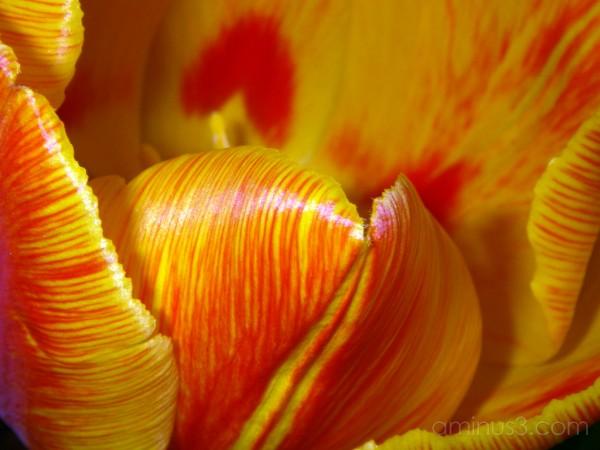 tulip closeup macro
