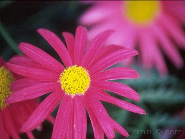 pink flowers Cosmos pretty nature