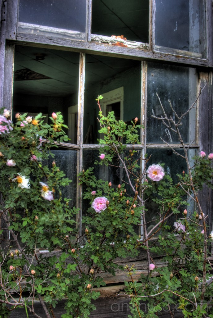 Window roses HDR abandoned